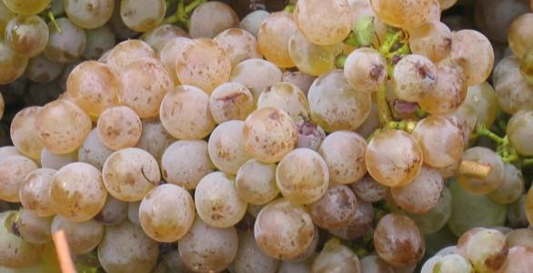 """Raisins de """"La Coulée de Serrant"""""""